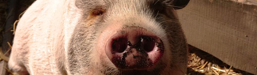 Schwein Lotti